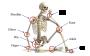 abschlussarbeiten:msc:skeletal_joints.png