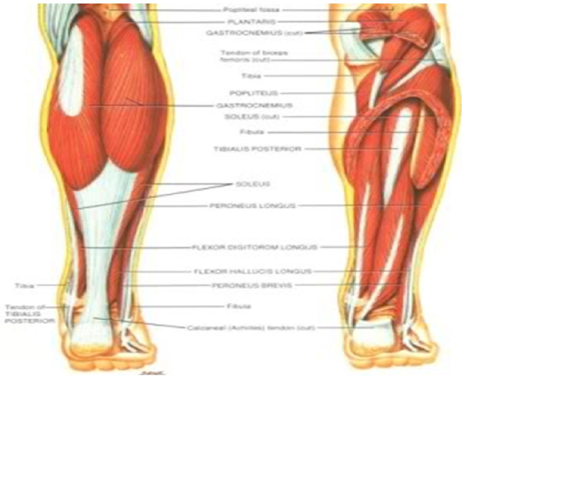 Ausgezeichnet Beine Anatomie Muskel Fotos - Anatomie Und Physiologie ...