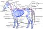 biomechanik:aktuelle_themen:projekte_ss15:pferdknochenbeschriftetweb-158.png