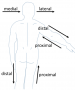 biomechanik:modellierung:proximal.png