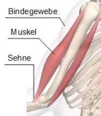 Muskeln Und Sehnen