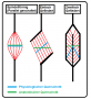 biomechanik:muskel:querschnitt2.png