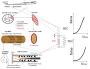 biomechanik:muskel:zuordnung_strukturen_modell.png