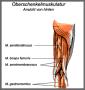 biomechanik:projekte:ss2013:muskel_2.png