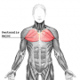 biomechanik:projekte:ws2013:pectoralis_major.png
