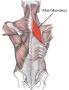 biomechanik:projekte:ws2013:rhomboideus.png