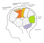 biomechanik:projekte:ws2019:mentales-training-gehirnaufbau.png